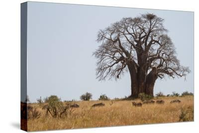Zebras Grazing Near a Large Baobab Tree-Erika Skogg-Stretched Canvas Print