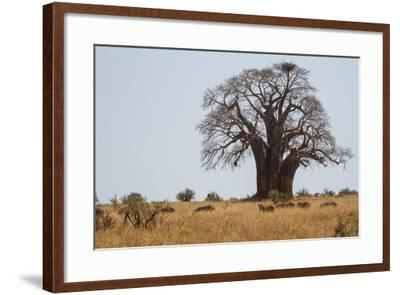 Zebras Grazing Near a Large Baobab Tree-Erika Skogg-Framed Photographic Print