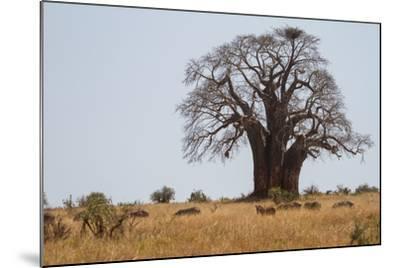 Zebras Grazing Near a Large Baobab Tree-Erika Skogg-Mounted Photographic Print