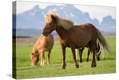 Icelandic Horses in a Field-Erika Skogg-Stretched Canvas Print