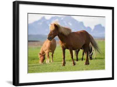 Icelandic Horses in a Field-Erika Skogg-Framed Photographic Print