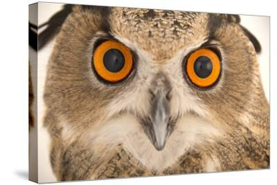 A Spanish Eagle Owl, Bubo Bubo Hispanus, at the Palm Beach Zoo and Conservation Society-Joel Sartore-Stretched Canvas Print
