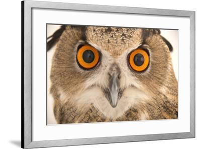 A Spanish Eagle Owl, Bubo Bubo Hispanus, at the Palm Beach Zoo and Conservation Society-Joel Sartore-Framed Photographic Print