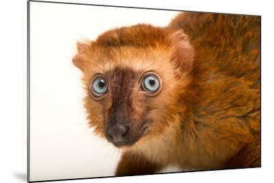 A Female, Critically Endangered Blue-Eyed Black Lemur, Eulemur Flavifrons, at the Duke Lemur Center-Joel Sartore-Mounted Photographic Print
