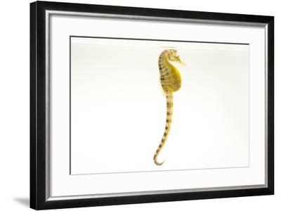 A Pot Bellied Seahorse, Hippocampus Abdominalis, at Omaha's Henry Doorly Zoo and Aquarium-Joel Sartore-Framed Photographic Print