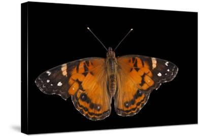 An American Lady Butterfly, Vanessa Virginiensis, at Cross Lake, Minnesota-Joel Sartore-Stretched Canvas Print