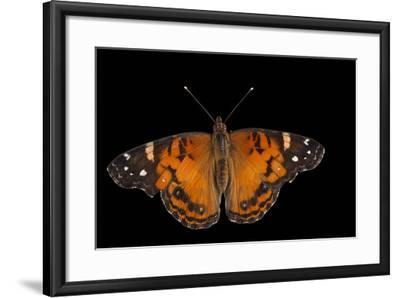 An American Lady Butterfly, Vanessa Virginiensis, at Cross Lake, Minnesota-Joel Sartore-Framed Photographic Print