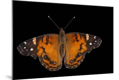 An American Lady Butterfly, Vanessa Virginiensis, at Cross Lake, Minnesota-Joel Sartore-Mounted Photographic Print