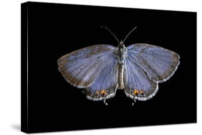 An Eastern Tailed-Blue Butterfly, Cupido Comyntas, from Neale Woods in Butler County, Nebraska-Joel Sartore-Stretched Canvas Print