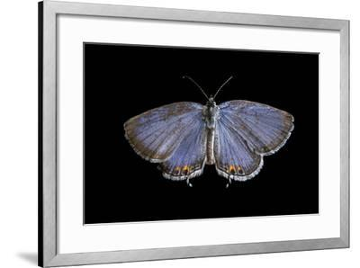 An Eastern Tailed-Blue Butterfly, Cupido Comyntas, from Neale Woods in Butler County, Nebraska-Joel Sartore-Framed Photographic Print