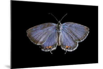 An Eastern Tailed-Blue Butterfly, Cupido Comyntas, from Neale Woods in Butler County, Nebraska-Joel Sartore-Mounted Photographic Print