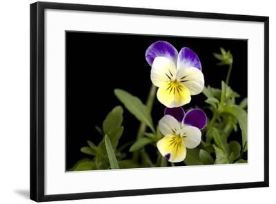 Viola or Sweet Violet Flowers, Viola Odorata-Joel Sartore-Framed Photographic Print