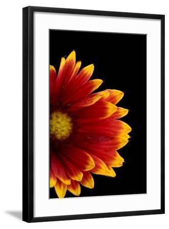 A Fire Wheel Flower, Gaillardia Pulchella-Joel Sartore-Framed Photographic Print