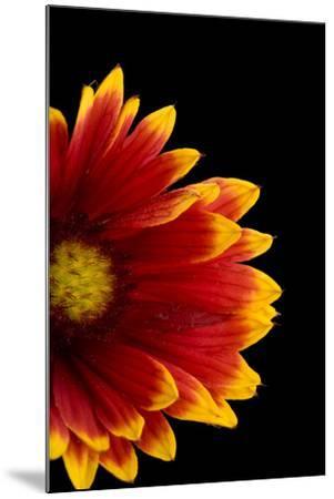 A Fire Wheel Flower, Gaillardia Pulchella-Joel Sartore-Mounted Photographic Print