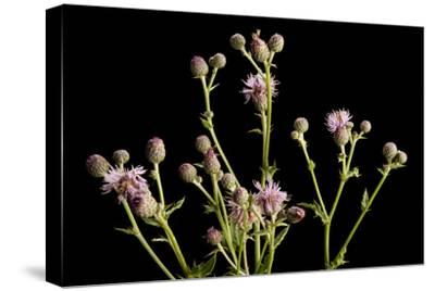 A Studio Portrait of a Canada Thistle, Cirsium Arvense-Joel Sartore-Stretched Canvas Print