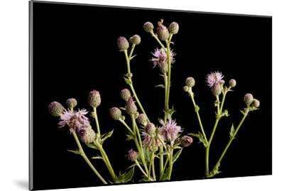 A Studio Portrait of a Canada Thistle, Cirsium Arvense-Joel Sartore-Mounted Photographic Print