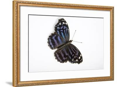 A Mexican Bluewing Butterfly, Myscelia Ethusa, at the Minnesota Zoo-Joel Sartore-Framed Photographic Print