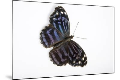 A Mexican Bluewing Butterfly, Myscelia Ethusa, at the Minnesota Zoo-Joel Sartore-Mounted Photographic Print