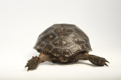 An Endangered Asian Forest Tortoise-Joel Sartore-Framed Photographic Print