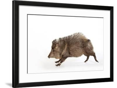 Collared Peccary, Pecari Tajacu, at the Omaha Zoo's Wildlife Safari Park-Joel Sartore-Framed Photographic Print