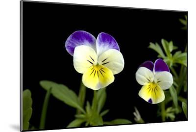 Viola or Sweet Violet Flowers, Viola Odorata-Joel Sartore-Mounted Photographic Print
