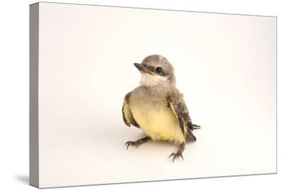 A Western Kingbird Chick, Tyrannus Verticalis, in Lincoln, Nebraska-Joel Sartore-Stretched Canvas Print