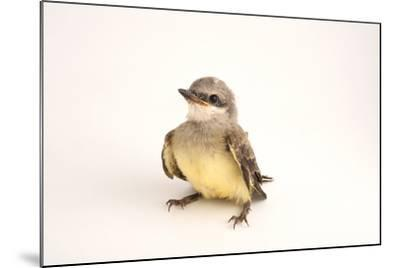 A Western Kingbird Chick, Tyrannus Verticalis, in Lincoln, Nebraska-Joel Sartore-Mounted Photographic Print
