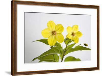 Fringed Loosestrife, Lysimachia Ciliata-Joel Sartore-Framed Photographic Print