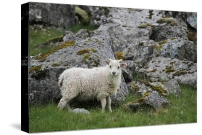 Portrait of an Icelandic Sheep-Erika Skogg-Stretched Canvas Print
