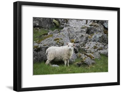 Portrait of an Icelandic Sheep-Erika Skogg-Framed Photographic Print
