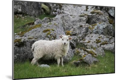 Portrait of an Icelandic Sheep-Erika Skogg-Mounted Photographic Print