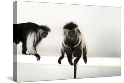 Peter's Angola Colobus Monkeys, Colobus Angolensis Palliatus, at the Omaha Henry Doorly Zoo-Joel Sartore-Stretched Canvas Print