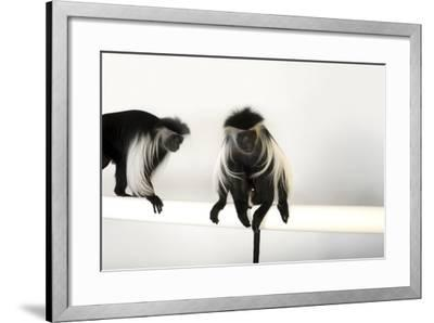 Peter's Angola Colobus Monkeys, Colobus Angolensis Palliatus, at the Omaha Henry Doorly Zoo-Joel Sartore-Framed Photographic Print