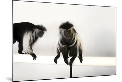 Peter's Angola Colobus Monkeys, Colobus Angolensis Palliatus, at the Omaha Henry Doorly Zoo-Joel Sartore-Mounted Photographic Print