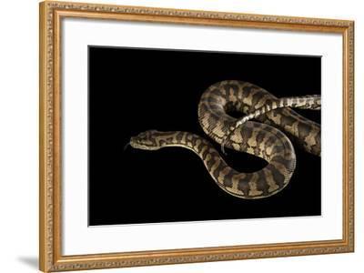 A Coastal Carpet Python, Morelia Spilota Mcdowelli, at the Wild Life Sydney Zoo-Joel Sartore-Framed Photographic Print