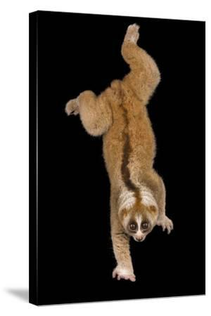 A Greater Slow Loris, Nycticebus Coucang, at the Minnesota Zoo-Joel Sartore-Stretched Canvas Print