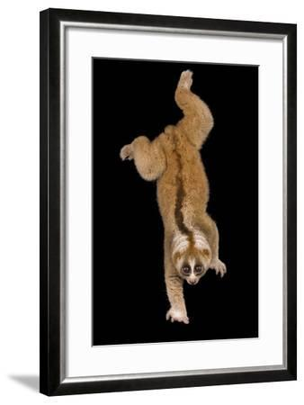 A Greater Slow Loris, Nycticebus Coucang, at the Minnesota Zoo-Joel Sartore-Framed Photographic Print