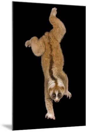 A Greater Slow Loris, Nycticebus Coucang, at the Minnesota Zoo-Joel Sartore-Mounted Photographic Print