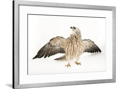 A Mississippi Kite, Ictinia Mississippiensis, at St. Francis Wildlife Association-Joel Sartore-Framed Photographic Print