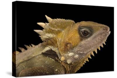 Boyd's Forest Dragon, Hypsilurus Boydii, at the Wild Life Sydney Zoo-Joel Sartore-Stretched Canvas Print
