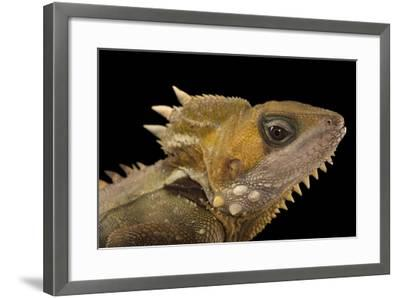 Boyd's Forest Dragon, Hypsilurus Boydii, at the Wild Life Sydney Zoo-Joel Sartore-Framed Photographic Print