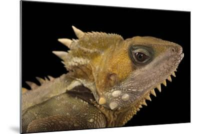 Boyd's Forest Dragon, Hypsilurus Boydii, at the Wild Life Sydney Zoo-Joel Sartore-Mounted Photographic Print