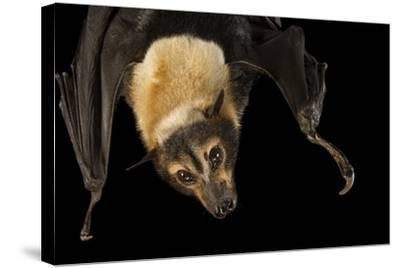 A Female Spectacled Flying Fox, Pteropus Conspicillatus, at the Lubee Bat Conservancy-Joel Sartore-Stretched Canvas Print