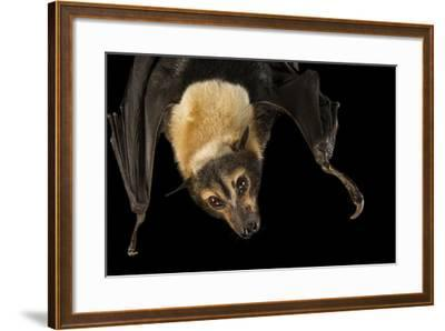 A Female Spectacled Flying Fox, Pteropus Conspicillatus, at the Lubee Bat Conservancy-Joel Sartore-Framed Photographic Print