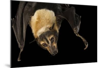 A Female Spectacled Flying Fox, Pteropus Conspicillatus, at the Lubee Bat Conservancy-Joel Sartore-Mounted Photographic Print