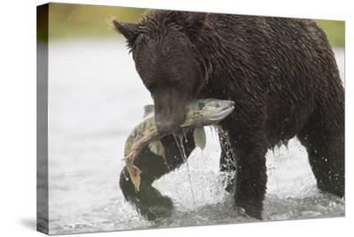 Adult Brown Bear, Ursus Arctos, with Salmon-Roy Toft-Stretched Canvas Print