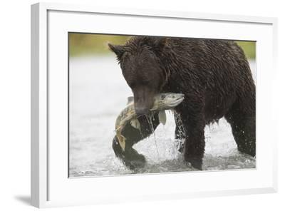 Adult Brown Bear, Ursus Arctos, with Salmon-Roy Toft-Framed Photographic Print