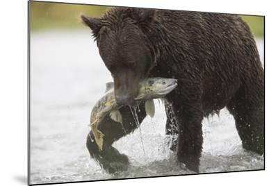 Adult Brown Bear, Ursus Arctos, with Salmon-Roy Toft-Mounted Photographic Print