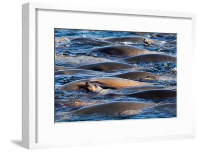 California Sea Lions, Zalophus Californianus, Feeding on Anchovies-Jak Wonderly-Framed Photographic Print