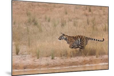 A Year-Old Bengal Tiger, Panthera Tigris Tigris, Running Along the Water's Edge-Jak Wonderly-Mounted Photographic Print